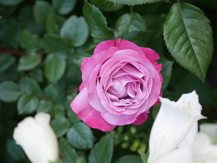 ミュリエル・ロバン(Muriel Robin)の花が綺麗に咲いた。2021年-002.jpg
