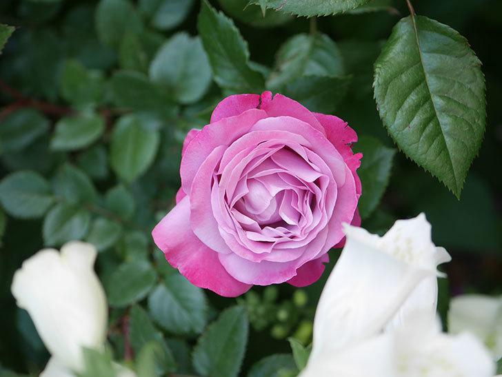 ミュリエル・ロバン(Muriel Robin)の花が綺麗に咲いた。2021年-003.jpg