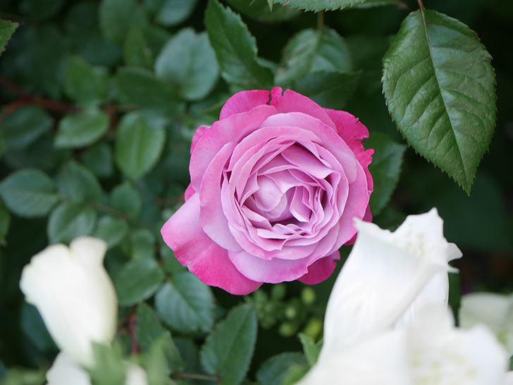 ミュリエル・ロバン(Muriel Robin)の花が綺麗に咲いた。2021年-004.jpg
