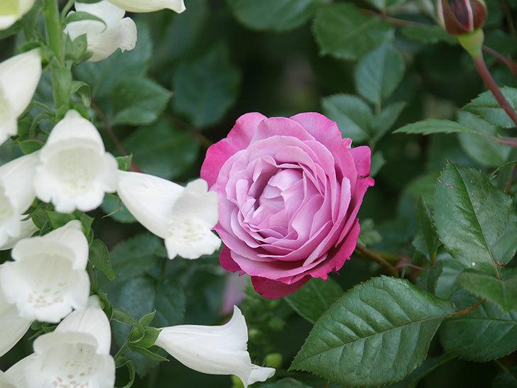 ミュリエル・ロバン(Muriel Robin)の花が綺麗に咲いた。2021年-008.jpg