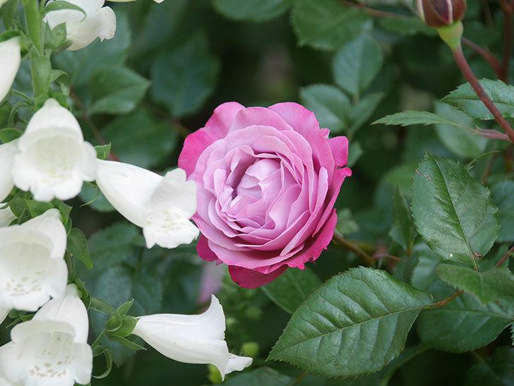 ミュリエル・ロバン(Muriel Robin)の花が綺麗に咲いた。2021年-009.jpg
