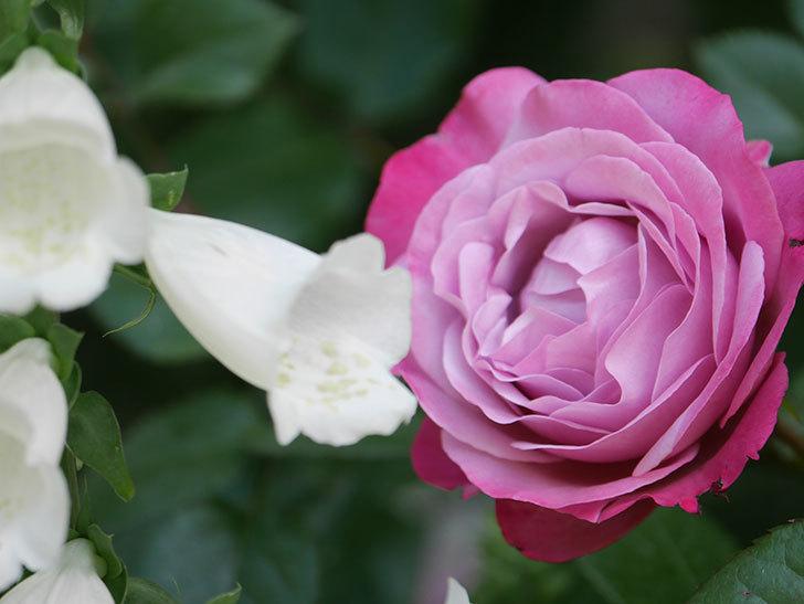 ミュリエル・ロバン(Muriel Robin)の花が綺麗に咲いた。2021年-010.jpg