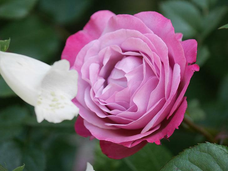 ミュリエル・ロバン(Muriel Robin)の花が綺麗に咲いた。2021年-011.jpg