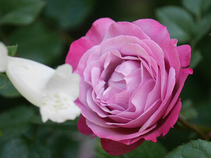 ミュリエル・ロバン(Muriel Robin)の花が綺麗に咲いた。2021年-012.jpg