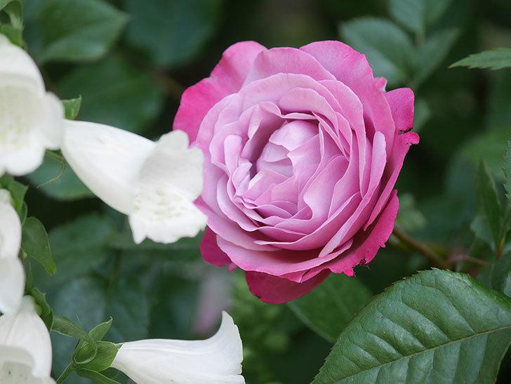 ミュリエル・ロバン(Muriel Robin)の花が綺麗に咲いた。2021年-013.jpg