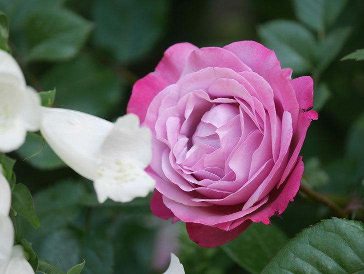 ミュリエル・ロバン(Muriel Robin)の花が綺麗に咲いた。2021年-014.jpg