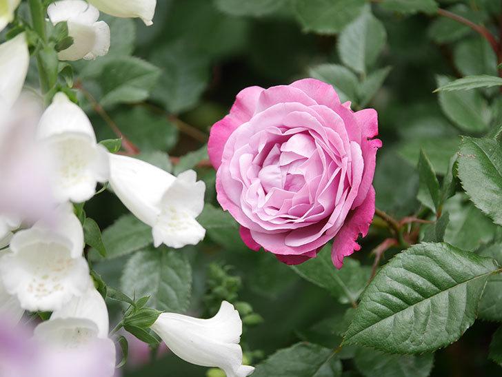 ミュリエル・ロバン(Muriel Robin)の花が綺麗に咲いた。2021年-015.jpg