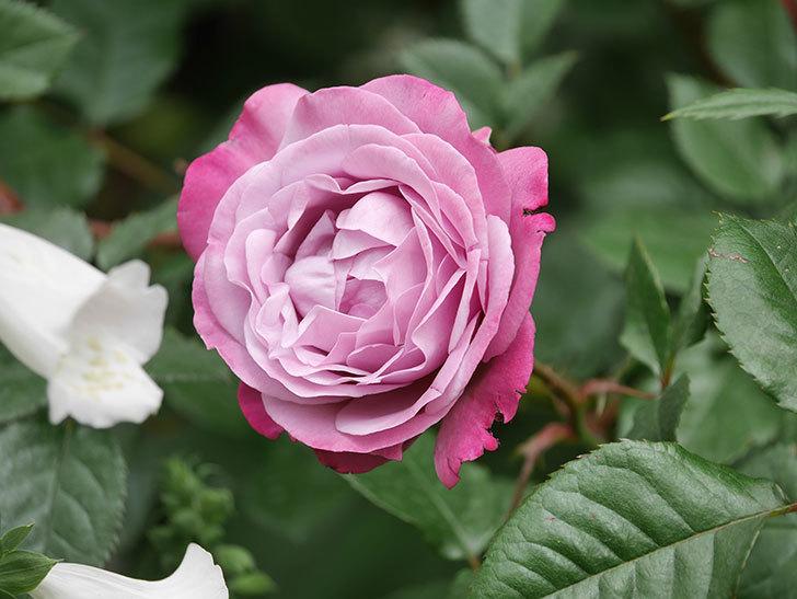 ミュリエル・ロバン(Muriel Robin)の花が綺麗に咲いた。2021年-016.jpg