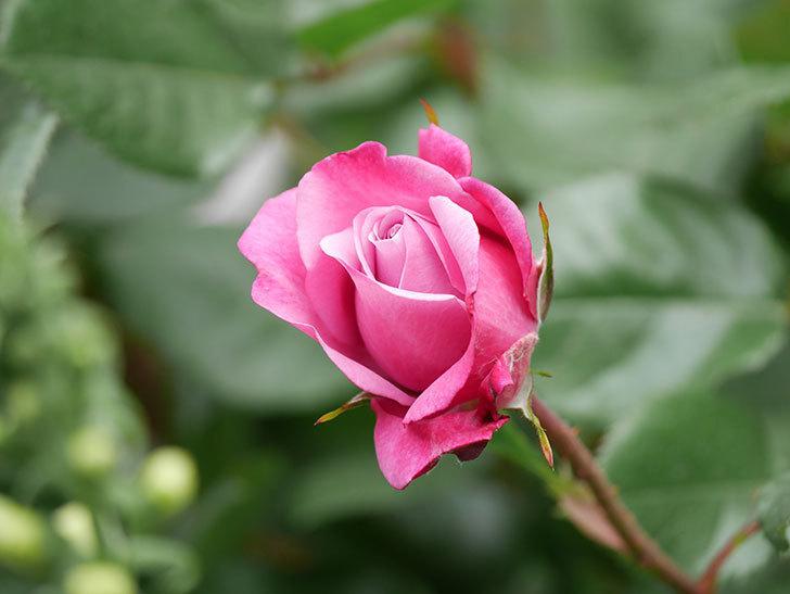 ミュリエル・ロバン(Muriel Robin)の花が綺麗に咲いた。2021年-018.jpg