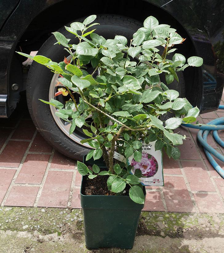 ミュリエル・ロバン(木立バラ)の大苗を楽天のバラの家で買った。2019年-1.jpg