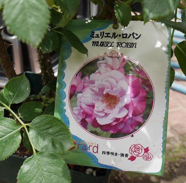 ミュリエル・ロバン(木立バラ)の大苗を楽天のバラの家で買った。2019年-3.jpg