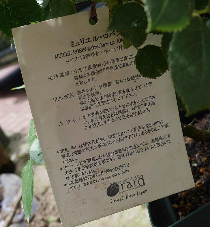 ミュリエル・ロバン(木立バラ)の大苗を楽天のバラの家で買った。2019年-4.jpg