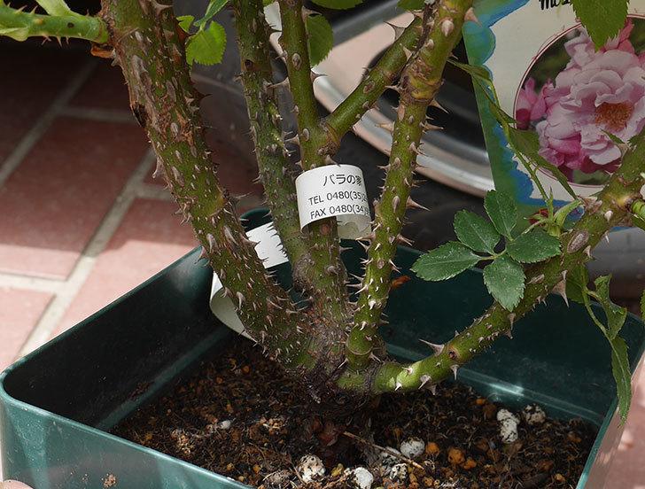 ミュリエル・ロバン(木立バラ)の大苗を楽天のバラの家で買った。2019年-5.jpg