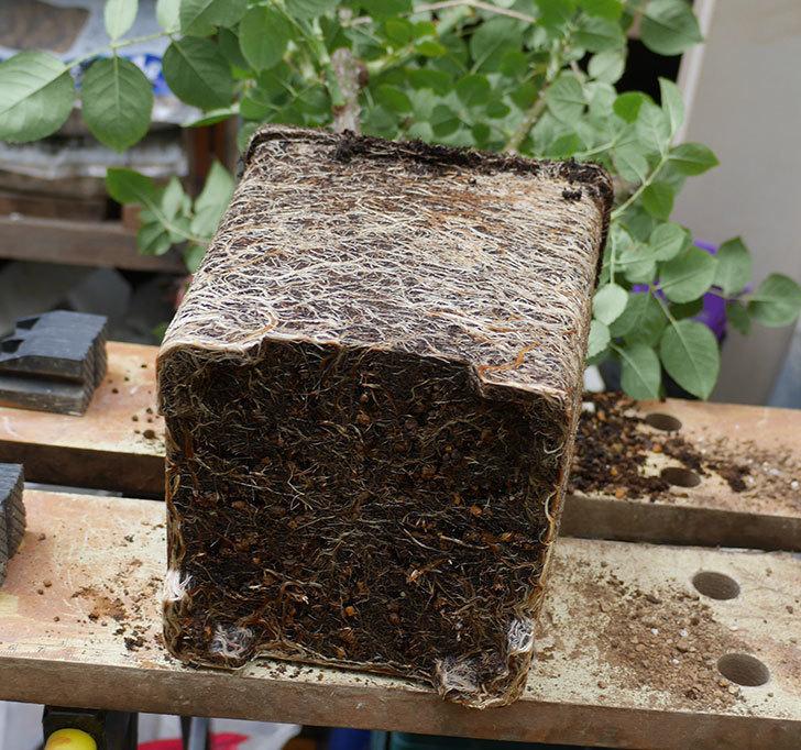 ミュリエル・ロバン(木立バラ)の大苗をEUスリット鉢-EU-24L(8号深鉢)に植え換えた。2019年-2.jpg