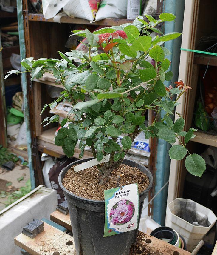 ミュリエル・ロバン(木立バラ)の大苗をEUスリット鉢-EU-24L(8号深鉢)に植え換えた。2019年-3.jpg