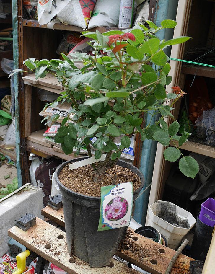 ミュリエル・ロバン(木立バラ)の大苗をEUスリット鉢-EU-24L(8号深鉢)に植え換えた。2019年-4.jpg