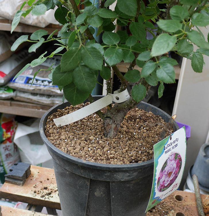 ミュリエル・ロバン(木立バラ)の大苗をEUスリット鉢-EU-24L(8号深鉢)に植え換えた。2019年-5.jpg