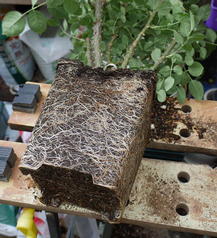 ミュリエル・ロバン(木立バラ)の大苗をEUスリット鉢 EU-24L(8号深鉢)に植え換えた。2019年-1.jpg