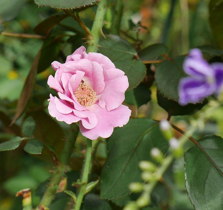 ミュリエル・ロバン(木立バラ)の秋花が咲いた。2019年-1.jpg