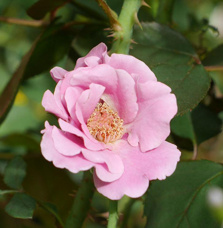 ミュリエル・ロバン(木立バラ)の秋花が咲いた。2019年-2.jpg