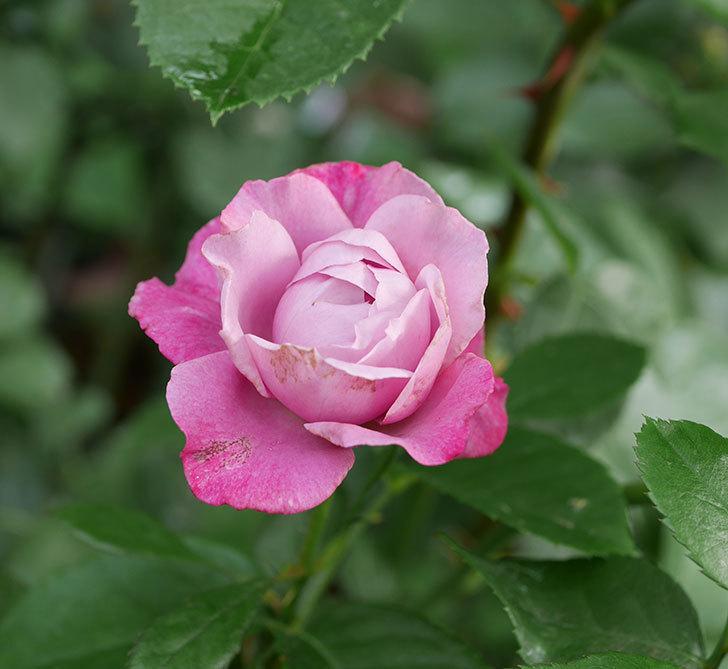 ミュリエル・ロバン(木立バラ)の花が咲いた。2019年-1.jpg