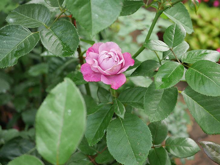 ミュリエル・ロバン(木立バラ)の花が咲いた。2019年-2.jpg