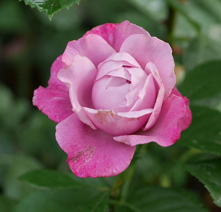 ミュリエル・ロバン(木立バラ)の花が咲いた。2019年-3.jpg