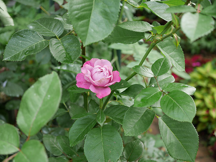 ミュリエル・ロバン(木立バラ)の花が咲いた。2019年-4.jpg