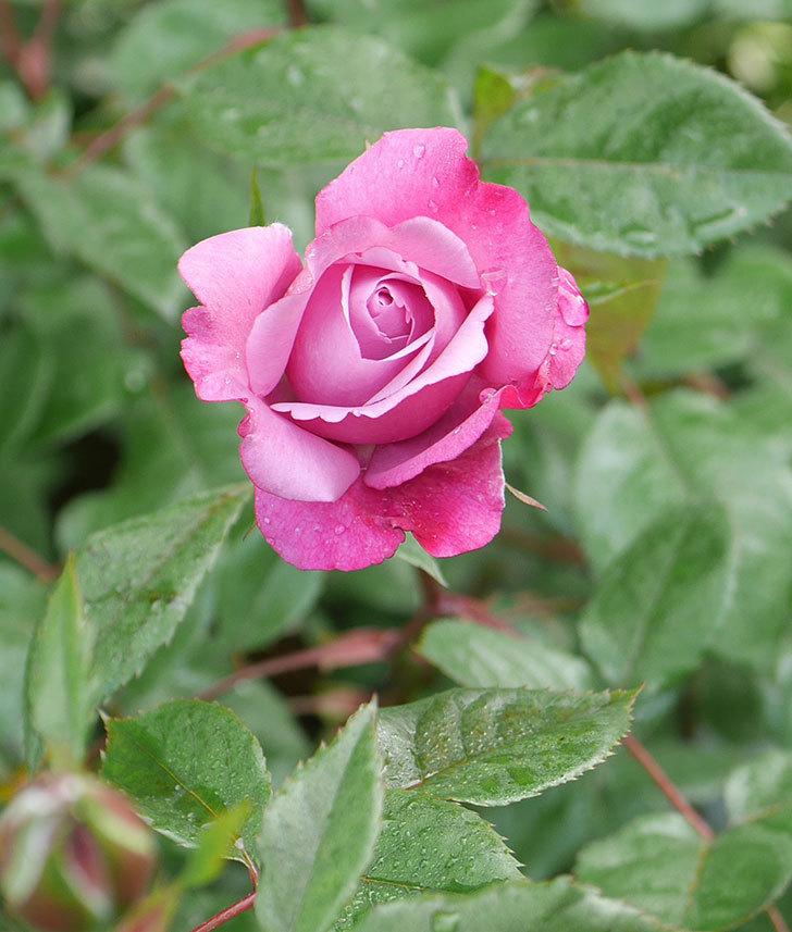 ミュリエル・ロバン(木立バラ)の花が咲いた。2020年-1.jpg