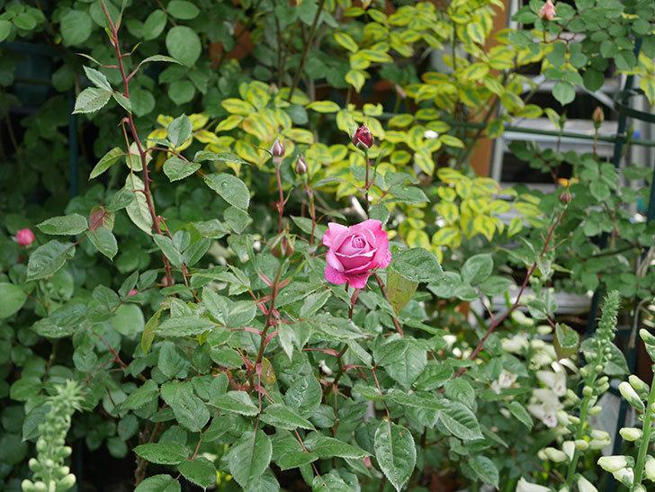 ミュリエル・ロバン(木立バラ)の花が咲いた。2020年-2.jpg