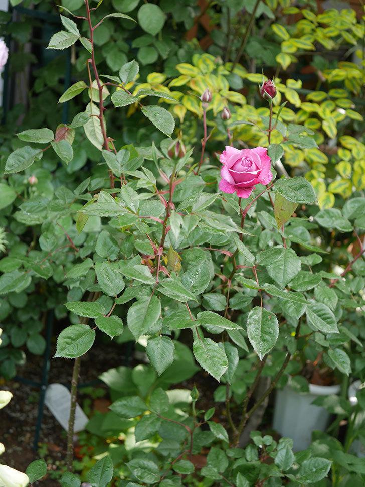 ミュリエル・ロバン(木立バラ)の花が咲いた。2020年-3.jpg
