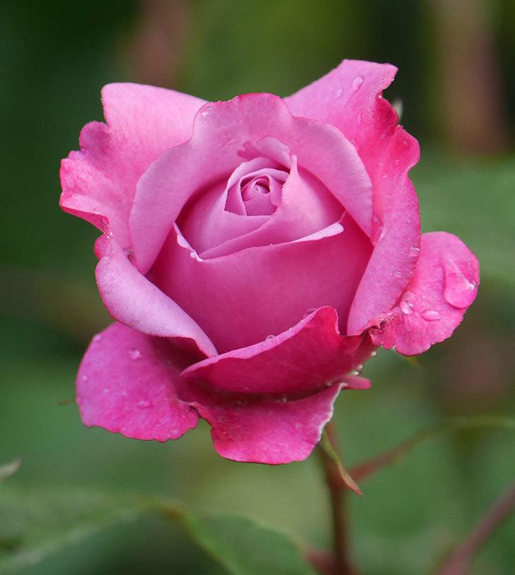 ミュリエル・ロバン(木立バラ)の花が咲いた。2020年-6.jpg
