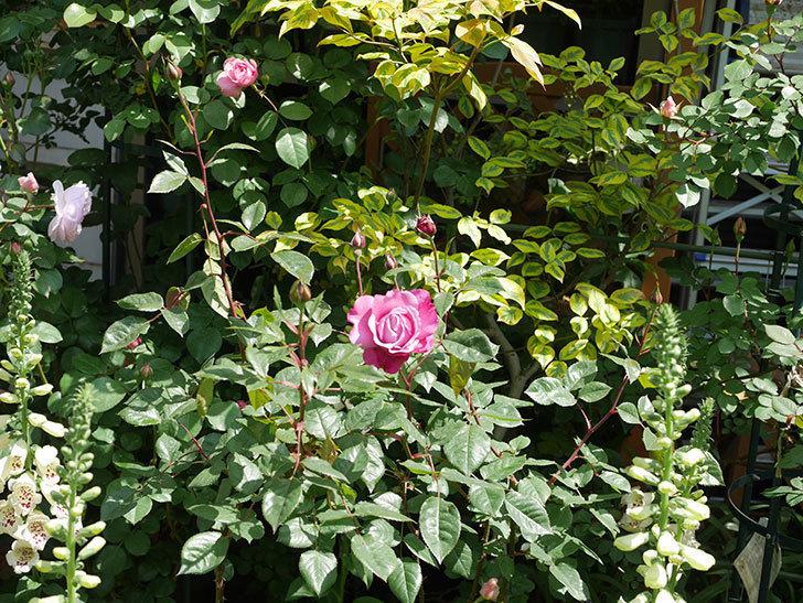 ミュリエル・ロバン(木立バラ)の花が咲いた。2020年-7.jpg
