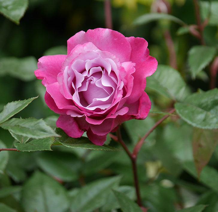 ミュリエル・ロバン(木立バラ)の花が綺麗に咲いた。2020年-1.jpg