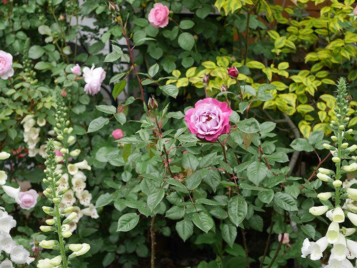 ミュリエル・ロバン(木立バラ)の花が綺麗に咲いた。2020年-3.jpg