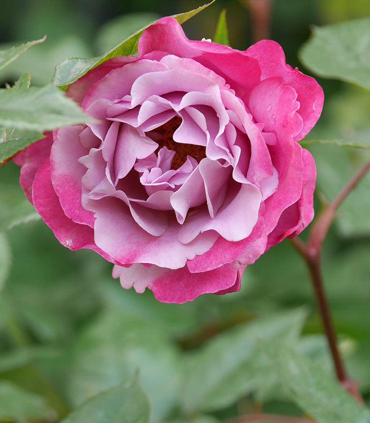 ミュリエル・ロバン(木立バラ)の花が綺麗に咲いた。2020年-5.jpg