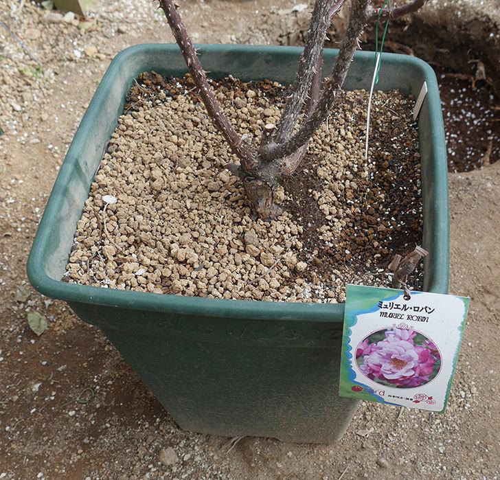 ミュリエル・ロバン(木立バラ)を地植えにした。2020年-11.jpg