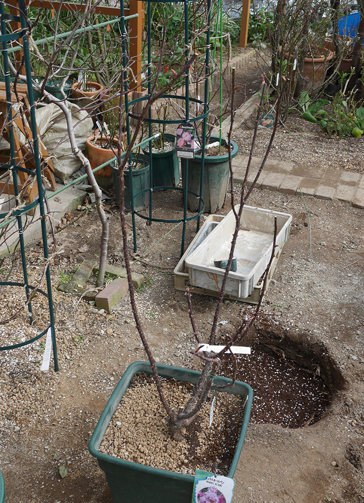 ミュリエル・ロバン(木立バラ)を地植えにした。2020年-12.jpg
