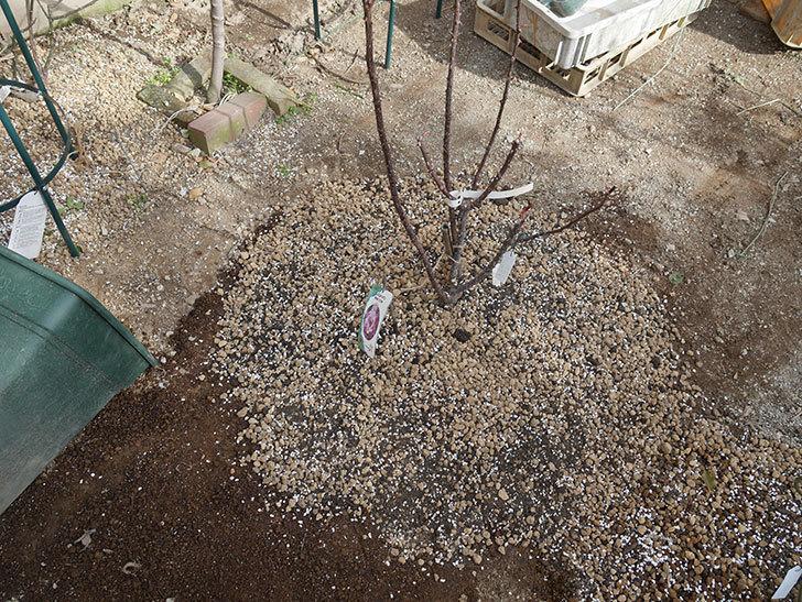 ミュリエル・ロバン(木立バラ)を地植えにした。2020年-19.jpg