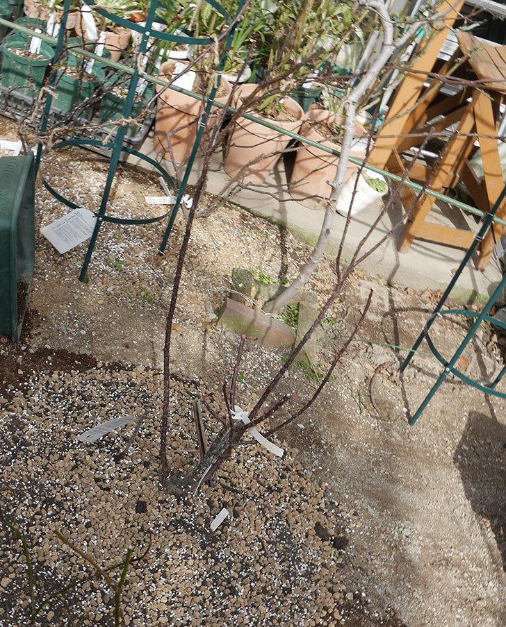 ミュリエル・ロバン(木立バラ)を地植えにした。2020年-22.jpg