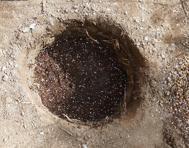 ミュリエル・ロバン(木立バラ)を地植えにした。2020年-7.jpg