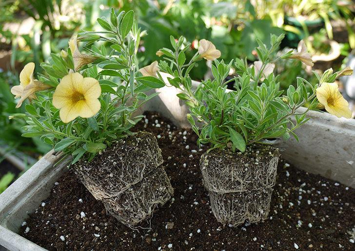 ミリオンベルのイエローをテラコッタ鉢に植えた1.jpg