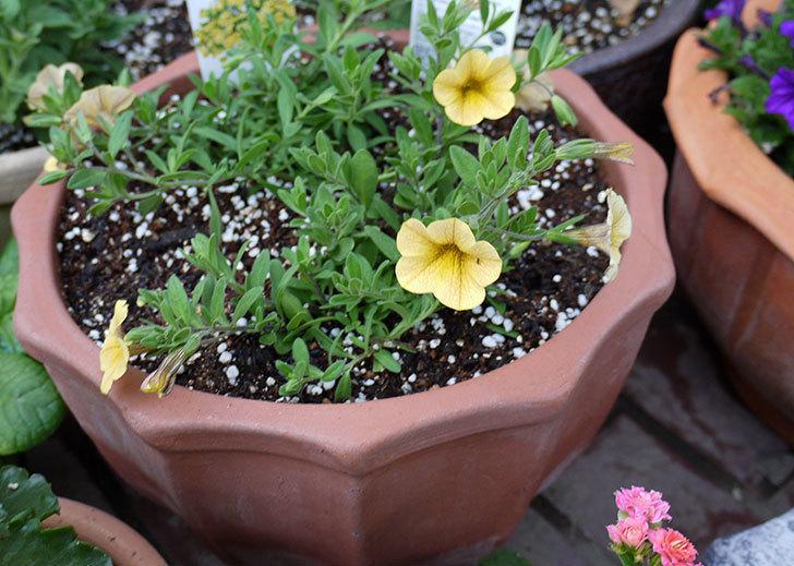 ミリオンベルのイエローをテラコッタ鉢に植えた3.jpg
