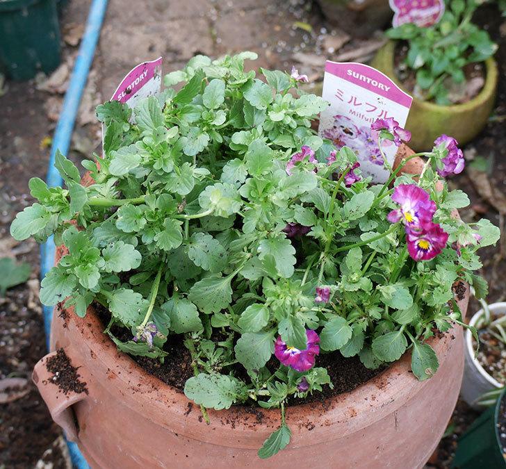 ミルフル(ビオラ)を鉢に植えた。2017年-1.jpg