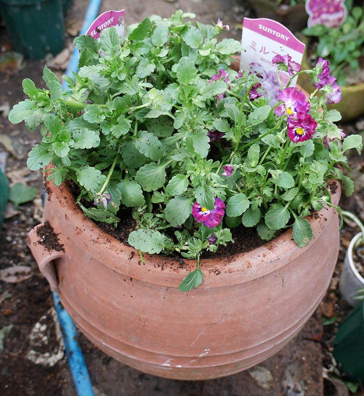 ミルフル(ビオラ)を鉢に植えた。2017年-3.jpg
