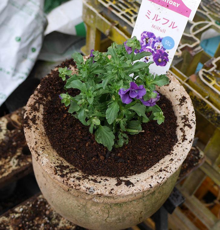 ミルフル(ビオラ)を鉢に植えた。2017年-7.jpg