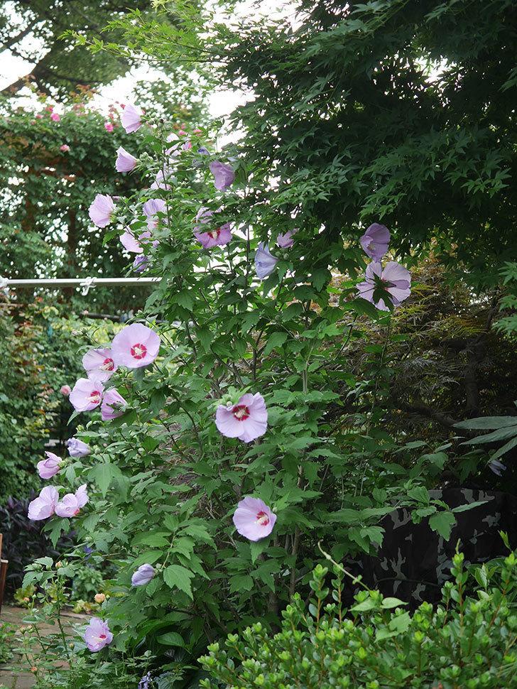 ムクゲがたくさん咲いた。2020年-015.jpg