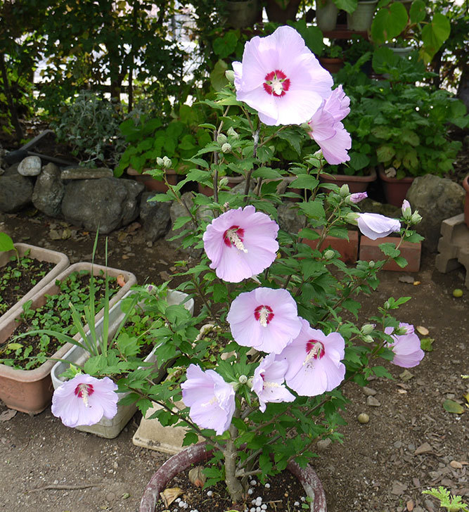 ムクゲがの花が大量に咲いた1.jpg