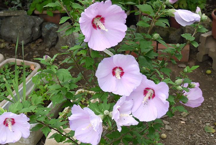 ムクゲがの花が大量に咲いた2.jpg