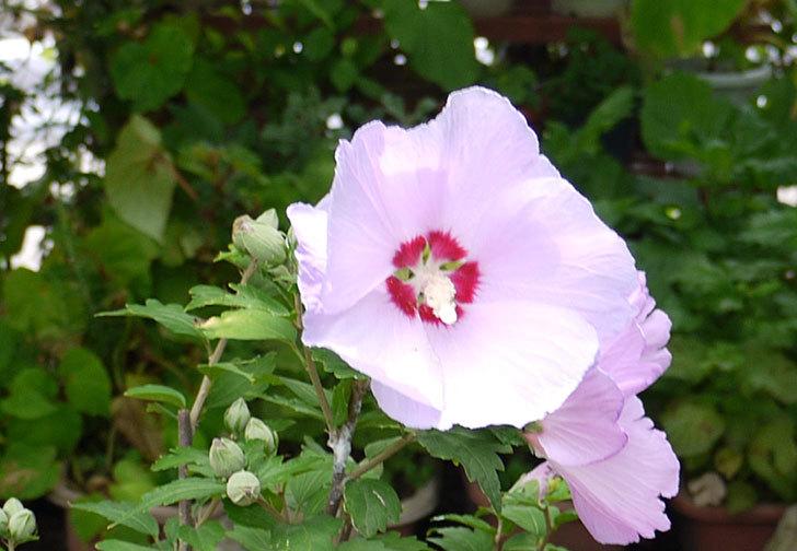 ムクゲがの花が大量に咲いた3.jpg